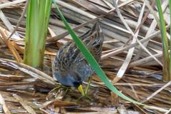 Sora Rail - South Padre Island Birding & Nature Center (Jacque & John) Tags: sorarail birdswatching bird birds texasbirds southpadreislandbirdingnaturecenter coastalbirds