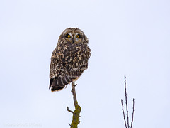 Snagged! (Explore) (Doug Scobel) Tags: shorteared owl asio flammeus wild bird prey snag perched