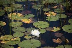 Newfoundland-4671 (Ricey373) Tags: waterlily newfoundland pond lily