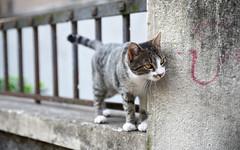 Croat Cat 2 (Kurayba) Tags: split croatis hrvatska croat cat 2 wall cement peeking around corner whiskers face detail pentax k1 hdpentaxdfa2470mmf28edsdmwr dfa 2470 f28 kitty feline cute