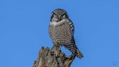 Northern Hawk Owl  7060 (Paul McGoveran) Tags: bif bird birdinflight nature nikon500mmf4 nikond500 nikond850 northernhawkowl ontario schomberg wings coth5 specanimal specanimalphotooftheday