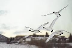 Trumpeter Swans (geelog) Tags: alberta calgary canada fishcreekprovincialpark