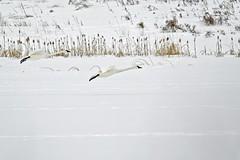 Trumpeter Swans (geelog) Tags: canada calgary alberta fishcreekprovincialpark swan trumpeter