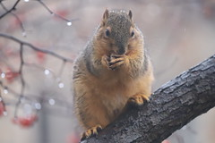 Soggy Fox Squirrels on a Wet Winter's Day in Ann Arbor at the University of Michigan - January 24th, 2020 (cseeman) Tags: gobluesquirrels squirrels foxsquirrels easternfoxsquirrels michiganfoxsquirrels universityofmichiganfoxsquirrels annarbor michigan animal campus universityofmichigan umsquirrels01242020 winter eating peanuts januaryumsquirrel umsquirrel snow snowy wet soggy rain rainy