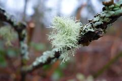 Lichen (clearbrook4) Tags: burnaby capitolhill lichen branch rainforest