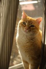 Good Morning (Rich Renomeron) Tags: fujifilmxt20 fujinonxf1680mmf4roiswr cat orangetabby sunshine