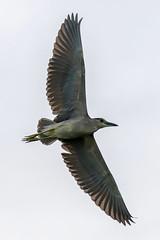 Black-Crowned Night-Heron Inflight (dbadair) Tags: outdoor dennis adair nature wildlife 7dm2 7d ii ef100400mm canon florida bird