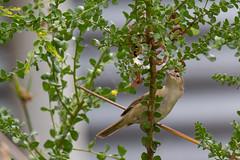 Acrocephalidae - Australian Reed-warbler (julie burgher) Tags: acrocephalusaustralisaustralis backyard aldingabeach southaustralia acrocephalidae australianreedwarbler acaciaacinacea