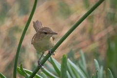 Acrocephalidae - Australian Reed-warbler (julie burgher) Tags: acrocephalusaustralisaustralis backyard aldingabeach southaustralia acrocephalidae australianreedwarbler