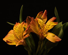 Orange Alstromeria 1110 (Tjerger) Tags: nature beautiful beauty black blackbackground bloom blooms closeup duo fall flora floral flower flowers macro orange pair plant portrait two wisconsin bloomig alstormeria natural greenpurple blooming green alstroemeria