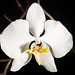 [Sabah, Borneo] Phalaenopsis amabilis Sabah type, Borneo (L.) Blume, Bijdr. Fl. Ned. Ind.: 294 (1825)