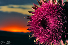 Perspective Thistle Sunset (franklin331) Tags: alpenglow aspect backcountry bliss blissdinosaurranch blissphotographics blissranch border borderlands cowboy factfriday fearlessfriday flower followfriday frame frankbliss franklinbliss franklinebliss freebeefriday fridayfun fridayreads globe image land landscape landscapeladder montana mouintains photo ranch ranchlands real ridges scenery scenic seeds silhouette sonyalpha sun sunset thistle western wyoming