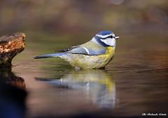 Cinciarella _013 (Rolando CRINITI) Tags: cinciarella uccelli uccello birds ornitologia avifauna castellettomerli natura