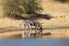 A Trio of Zebras (Rckr88) Tags: krugernationalpark southafrica kruger national park south africa a trio zebras atrioofzebras atrioofzebra zebra animals animal water reflection reflections nature naturalworld outdoors travel travelling