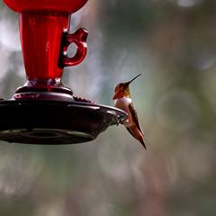 Rufus Hummingbird (cedarandholly) Tags: bird hummingbird rufus backyard wildlife feeder