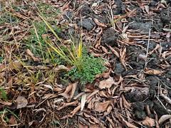 Arabidopsis thaliana (wall cress, シロイヌナズナ) (Greg Peterson in Japan) Tags: 滋賀県 ritto japan shiga 栗東市 hayashi shigaprefecture