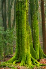 Green Fingers in to the Forrest Ground (BrownyNL) Tags: bosfotografie europa gelderland landmarkphotographynl canon bos bomen landmarkphotography boom nederland speulderbos ermelo natuurfotografie eos lmimaging veluwe loofbomen europe forrest forrestphotography netherlands tree woodland