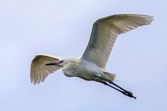 Morph Reddish Egret Inflight (dbadair) Tags: outdoor dennis adair nature wildlife 7dm2 7d ii ef100400mm canon florida bird