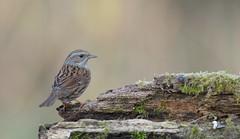 Accenteur mouchet (Guillaume Dardant) Tags: nature sauvage oiseaux bird passereaux forêt bois loiret d850 500mmf4 nikon accenteurmouchet prunellamodularis dunnock prunellidés passériformes affût