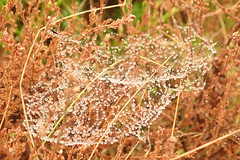 spiders webb covered in dew (Wild Ennerdale) Tags: spider dew wet