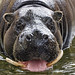 Male pygmy hippo in the water