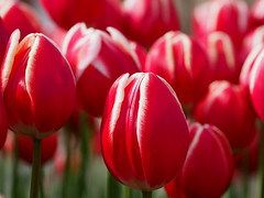 Red and white tulips (Greg Peterson in Japan) Tags: 植物 草津市立水生植物公園みずの森 japan 草津市 花 kusatsu shiga flowers plants 滋賀県 shigaprefecture