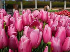 Pink tulips (Greg Peterson in Japan) Tags: 植物 草津市立水生植物公園みずの森 japan 草津市 花 kusatsu shiga flowers plants 滋賀県 shigaprefecture