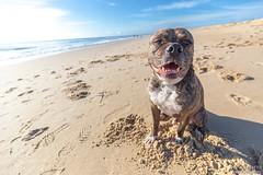 Happy Kratos (Emmanuel Z. Karabetis) Tags: 1635mm f40 canon 6d pitbull pit bull beach fenwick island delaware atlantic ocean