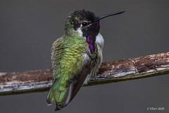 IMG_4380 little hummer (starc283) Tags: flickr flicker finest flora bird birding birds starc283 hummingbird