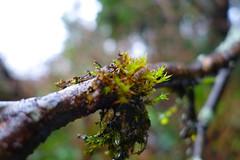 Moss (clearbrook4) Tags: burnaby capitolhill branch moss rainforest