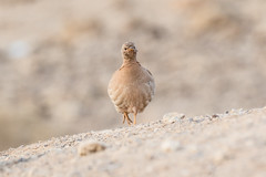 Sand Partridge (katyarud) Tags: ammoperdixheyi arabah bird israel sandpartridge арава песчанаякуропатка птица птицы הערבה ישראל ציפור קוראמדברי
