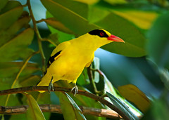 Black-naped Oriole (ashockenberry) Tags: ashleyhockenberryphotography animal wildlife wild wildlifephotography wilderness eco exotic ecosystem reserve rainforest river travel tourism tropical habitat nature naturephotography natural native majestic landscape light yellow tree trees forest feathers flight beautiful beauty bird birding marsh