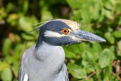 Yellow-Crowned Night-Heron Closeup (dbadair) Tags: outdoor dennis adair nature wildlife 7dm2 7d ii ef100400mm canon florida bird