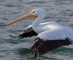 White Pelican Takeoff Closeup (dbadair) Tags: outdoor dennis adair nature wildlife 7dm2 7d ii ef100400mm canon florida bird