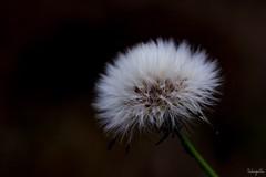 Fluffy (takapata) Tags: olympus em5 mzuiko 60mm macro f28 nature fluffy smileonsaturday