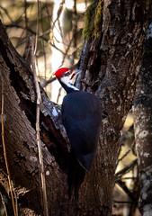 Pileated Woodpecker (cedarandholly) Tags: pileated bird backyard wildlife woodpecker tree