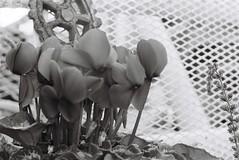(Akira F.) Tags: voigtlander bessaflex analog film filmphotography filmcamera filmisnotdead monochrome blackandwhite bw reautotopcor11458cm
