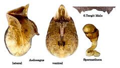 Dalotia coriaria (Kraatz, 1856) Male Syn.: Atheta coriaria (Kraatz, 1856) (urjsa) Tags: coleoptera kaefer käfer beetle insect staphylinidae atheta coriaria athetacoriaria germany deutschland europa europe taxonomy:binomial=athetacoriaria taxonomy:order=coleoptera taxonomy:family=staphylinidae taxonomy:genus=atheta taxonomy:species=coriaria geo:country=germania coleopteraus geo:country=germany bavaria upperfranconia insekt dalotia dalotiacoriaria taxonomy:genus=dalotia taxonomy:binomial=dalotiacoriaria genital aedoeagus spermatheca