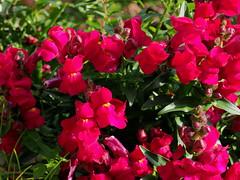 Antirrhinum majus flowers (snapdragon, キンギョソウ, スナップドラゴ ) (Greg Peterson in Japan) Tags: 滋賀県 ritto 花 japan flowers shiga 栗東市 植物 hayashi plants shigaprefecture