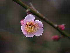 Plum blossoms (Greg Peterson in Japan) Tags: 滋賀県 ritto 花 japan flowers plumblossoms 梅 shiga 栗東市 植物 hayashi plants shigaprefecture