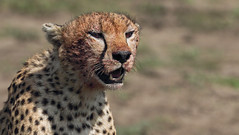 Happy Caturday! (AnyMotion) Tags: cheetah gepard acinonyxjubatus afteragoodmeal nacheinerüppigenmahlzeit cat katze portrait porträt 2018 anymotion ndutu ngorongoroconservationarea tanzania tansania africa afrika travel reisen animal animals tiere nature natur wildlife 7d2 canoneos7dmarkii portraitaufnahmen