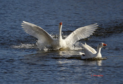 Ánsar IMG_2532r (Julian Munilla Rio) Tags: ganso ánsar oca pato ave