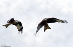 Red Kites 2 (Steve (Hooky) Waddingham) Tags: animal countryside coast canon bird british nature kite wild wildlife prey photography red