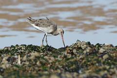 K32P6277c Bar-tailed Godwit, Titchwell Beach, September 2019 (bobchappell55) Tags: limosalapponica norfolk titchwell bartailed beach bird godwit nature wader wild wildlife
