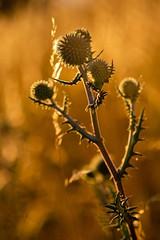 Shining in the evening sun ☀️ (Martin Bärtges) Tags: golden naturelovers naturephotography nature natur naturfotografie naturliebhaber deutschland germany farbenfroh colorful outdoor outside spiegelreflexkamera drausen nikonphotography nikonfotografie d4 nikon sonnenuntergang sunset abendsonne sonnig sonnenschein sonne sunny sunlight sunshine sun