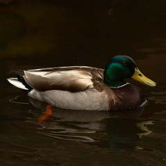 Mallard Drake (cedarandholly) Tags: mallard drake duck bird wildlife