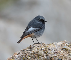 Male Black Redstart (wryneck94) Tags: birdwatching blackredstart wildlife wildbirds redstarts devon