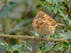 Female reed bunting PF 8796 (vickyoutenphoto) Tags: vickyouten reedbunting wildlife nature nikon nikond7200 sigma sigma150600mmc penningtonflash leigh uk