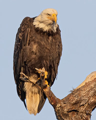 Bald Eagle with the Look (Mark Schocken) Tags: haliaeetusleucocephalus baldeagle predator birdofprey canon90d markschocken schockenphotography