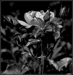Róża B&W. (andrzejskałuba) Tags: poland polska pieszyce dolnyśląsk silesia sudety europe plant plants roślina rośliny rose róża róże roses macro monochrome natura nature natural natureshot natureworld nikoncoolpixb500 naturephotographer nopeople beautiful beauty biały beautyofnature black blackwhite bw pąki buds white leaves liście lato shadow summer cień czarny kwiat kwiaty flower flora floral flowers focusonforeground ogród outdoor garden day shockofthenew 1000v40f 1500v60f
